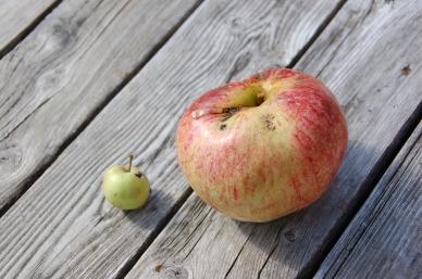 Apples 09-7